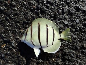 Acanthuridae Acanthurus triostegus