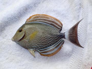 Acanthuridae Acanthurus xanthopterus