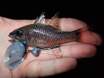 Apogonidae Pristiapogon kallopterus