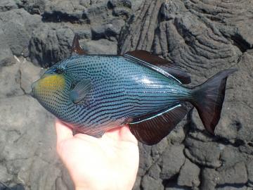 Balistidae Melichthys niger
