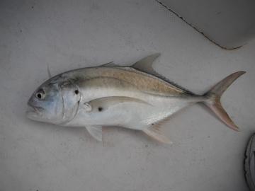 Carangidae Caranx caninus
