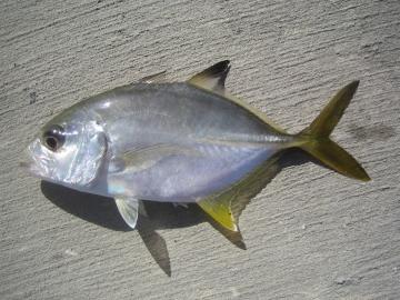 Carangidae Caranx latus