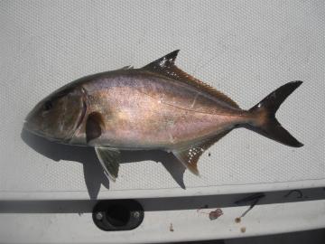 Carangidae Seriola rivoliana