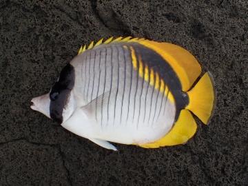 Chaetodontidae Chaetodon lineolatus