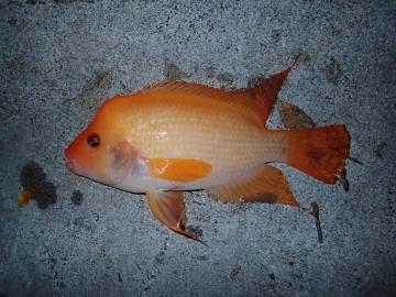 Cichlidae Amphilophus labiatus