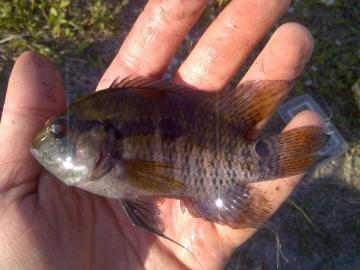 Cichlidae Cichlasoma bimaculatum
