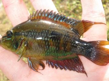 Cichlidae Cichlasoma salvini