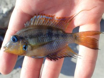 Cichlidae Thorichthys aureus