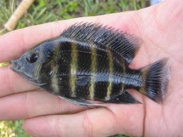 Cichlidae Tilapia buttikoferi