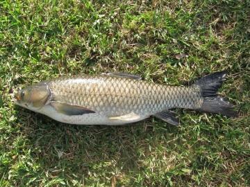 Cyprinidae Ctenopharyngodon idella