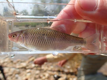 Cyprinidae Cyprinella analostana