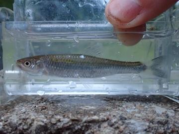 Cyprinidae Cyprinella galactura