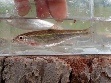Cyprinidae Luxilus cardinalis