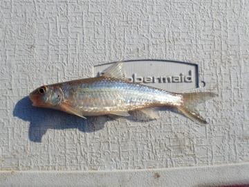 Cyprinidae Macrhybopsis storeriana