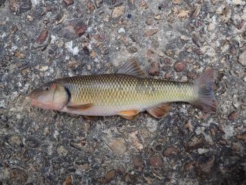 Cyprinidae Nocomis biguttatus