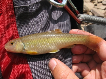 Cyprinidae Nocomis micropogon