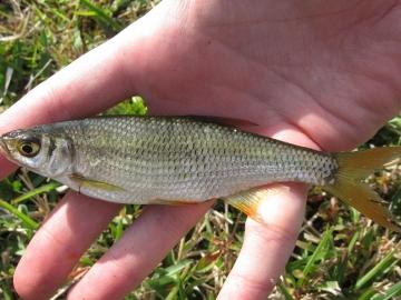 Cyprinidae Notemigonus crysoleucas