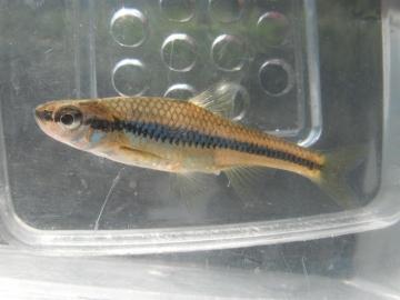 Cyprinidae Notropis heterodon