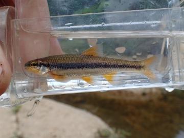 Cyprinidae Notropis nubilus