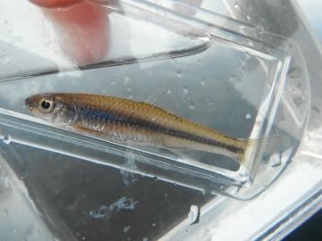 Cyprinidae Notropis volucellus
