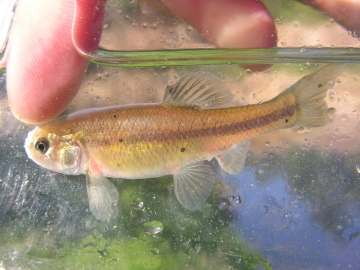 Cyprinidae Pimephales promelas