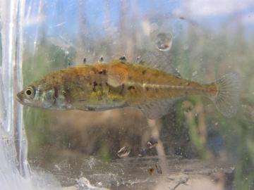 Gasterosteidae Culaea inconstans