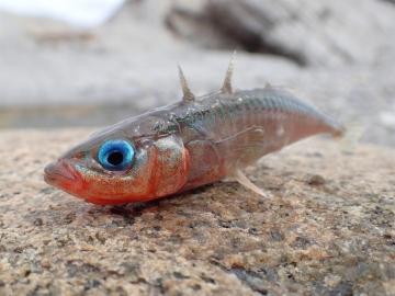 Gasterosteidae Gasterosteus aculeatus