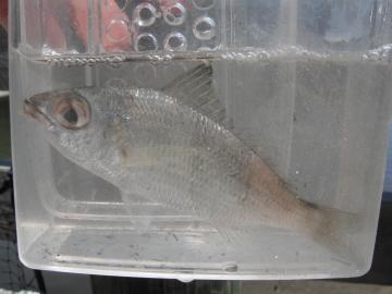 Gerreidae Eucinostomus jonesii