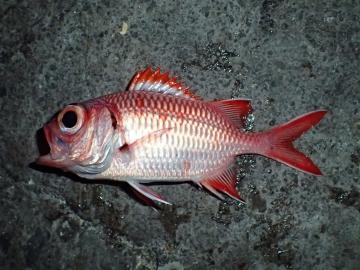 Holocentridae Myripristis berndti