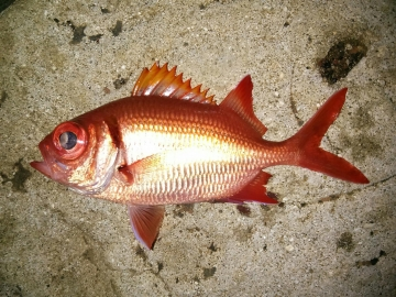 Holocentridae Myripristis kuntee