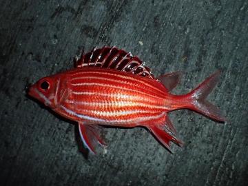 Holocentridae Sargocentron diadema