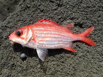 Holocentridae Sargocentron punctatissimum