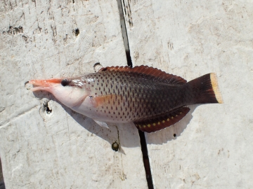 Labridae Gomphosus varius