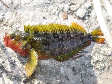 Labrisomidae Labrisomus nuchipinnis