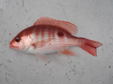 Lutjanidae Lutjanus peru
