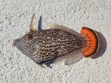 Monacanthidae Pervagor spilosoma