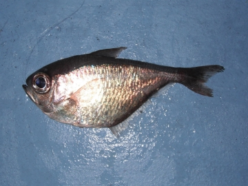 Pempheridae Pempheris schomburgkii