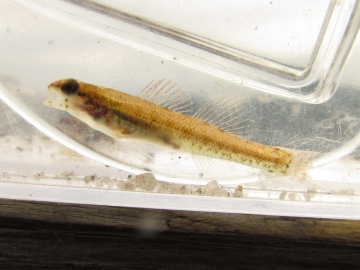 Percidae Etheostoma fusiforme