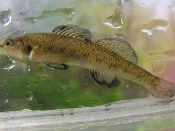 Percidae Etheostoma nigrum