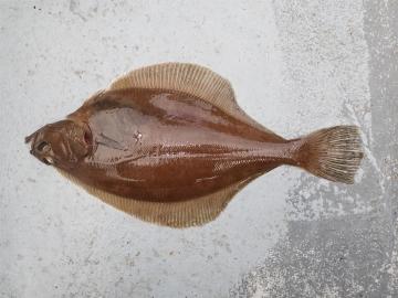 Pleuronectidae Hippoglossoides platessoides