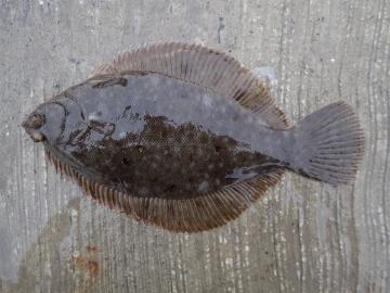 Pleuronectidae Pseudopleuronectes americanus