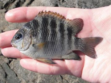 Pomacentridae Abudefduf declivifrons
