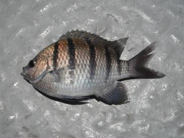 Pomacentridae Abudefduf troschelii
