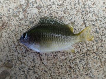 Pomacentridae Plectroglyphidodon imparipennis