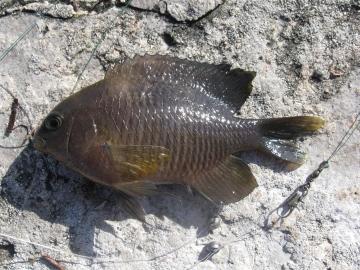 Pomacentridae Stegastes adustus