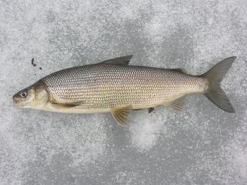 Salmonidae Coregonus clupeaformis