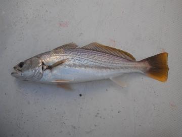 Sciaenidae Cynoscion reticulates