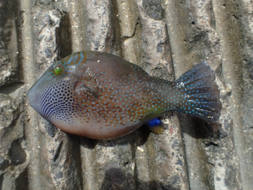 Tetraodontidae Canthigaster amboinensis