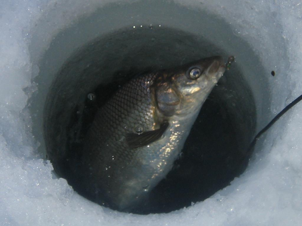 IMG 7379 How to not find burbot on Simcoe