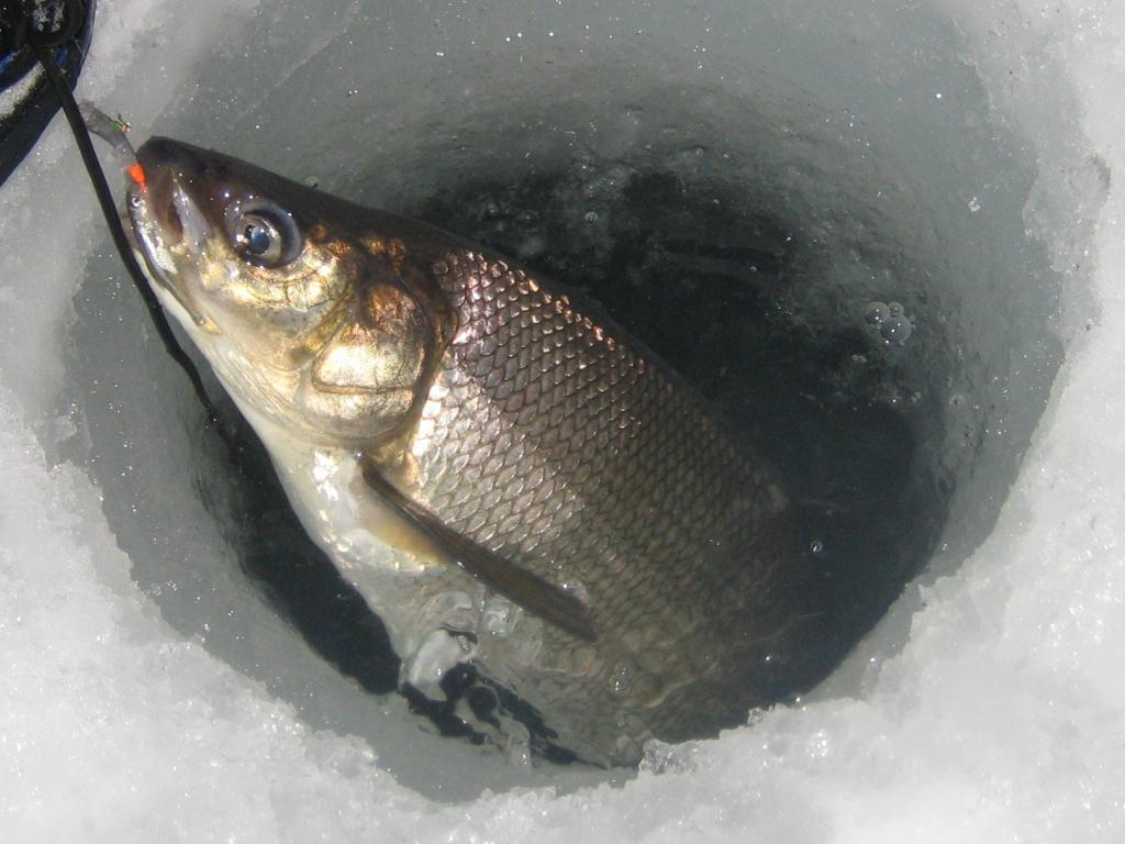 IMG 7396 How to not find burbot on Simcoe